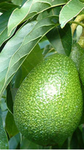Amazing health benefits of Avocado Butter Fruit Makhanphal - Avocado Fights Cancer