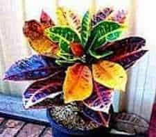 Croton Plant growing in a pot