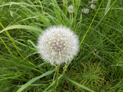 Dandelion – There Are So Many Flowers on The Trail
