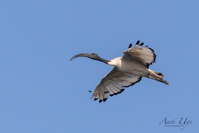 Sacred Ibis in Flight Woodbridge Island