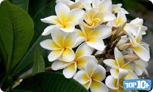 10 flores m s bellas y bonitas del mundo top 10 m s - Flores mas bonitas ...