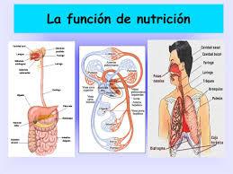 http://www.ceiploreto.es/sugerencias/cplosangeles.juntaextremadura.net/web/curso_4/naturales_4/funcion_nutricion_4/funcion_nutricion_4.html