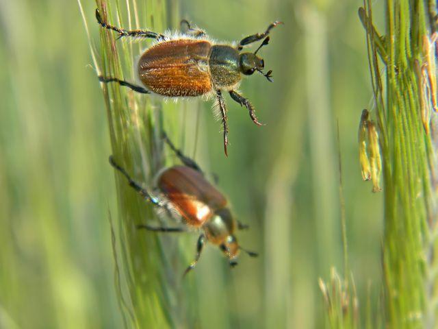 zboże, owady, chrząszcze, pole