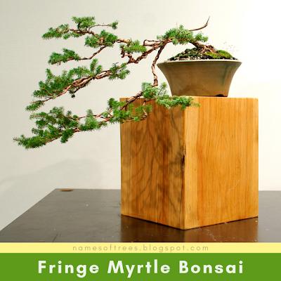 Fringe Myrtle Bonsai