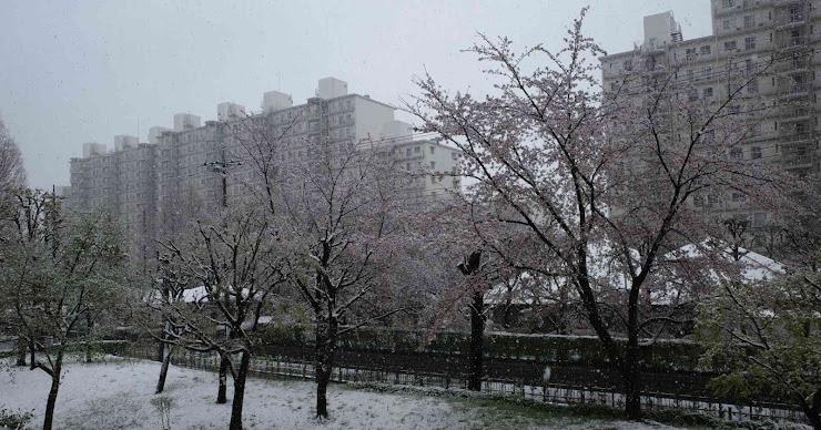 桜の花に降り積もる雪