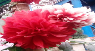 Red White Dahlia Flower picture