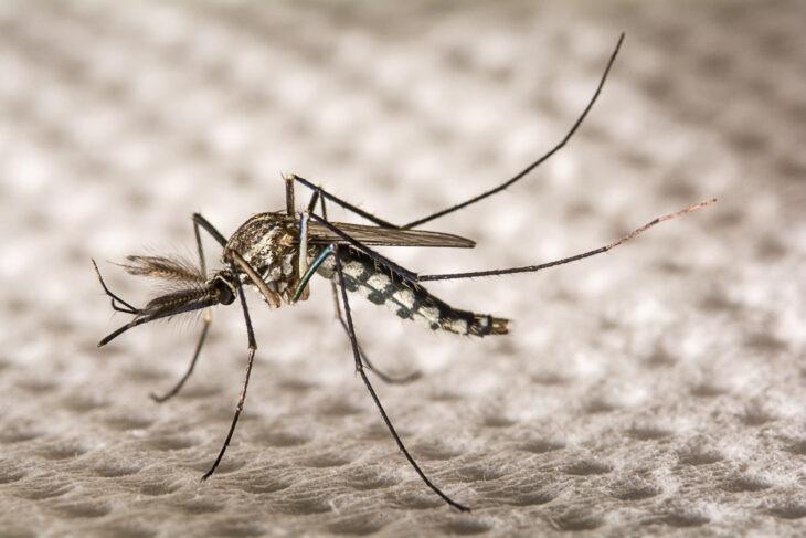 Florida Libera mosquitos genéticamente modificados para evitar enfermedades
