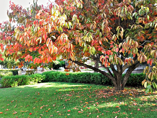 adelaide, persimmon, autumn, weekendnotes
