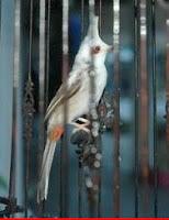 Berita Burung - Merbah Jambul $16.000 di Singapore