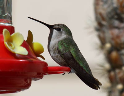 Photo of female Costa's Hummingbird on feeder