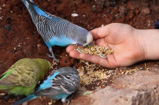 Prawidłowe żywienie papużek falistych