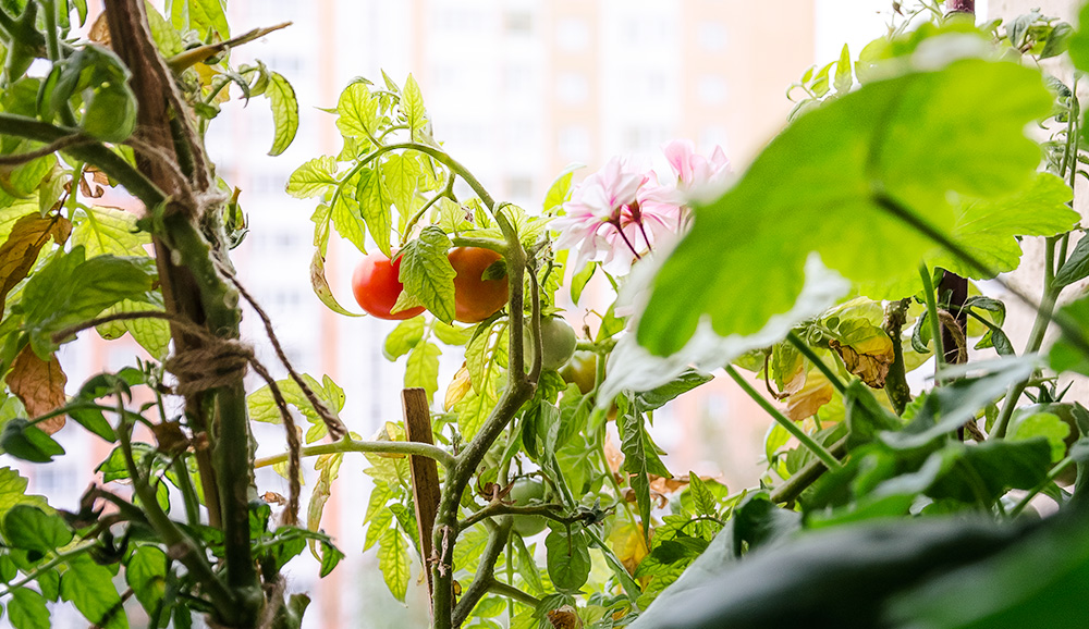 Tomatenpflanzen und Blumen auf dem Fensterbrett, огород на балконе