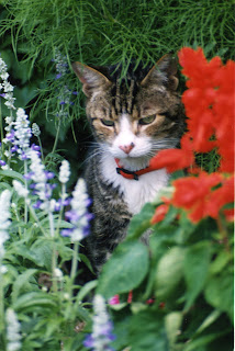 A tabby cat with a red collar. Flowers are either side of the cat; shrubs are in the background.