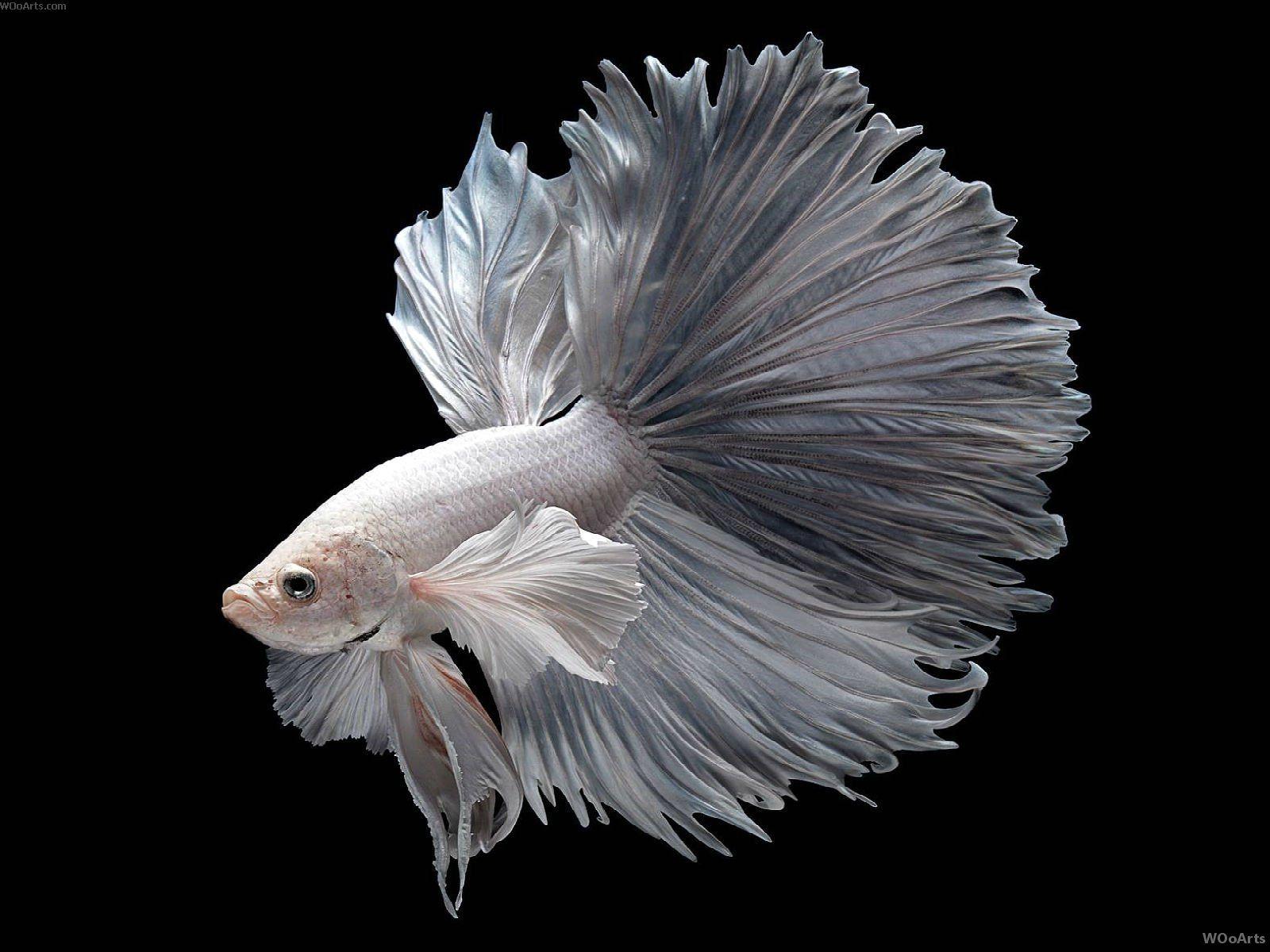 Ikan Cupang White Platinum Betta - Ikanhiasku.net