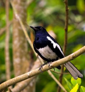 Burung Kacer Poci tau Sikoci atau Sumatra