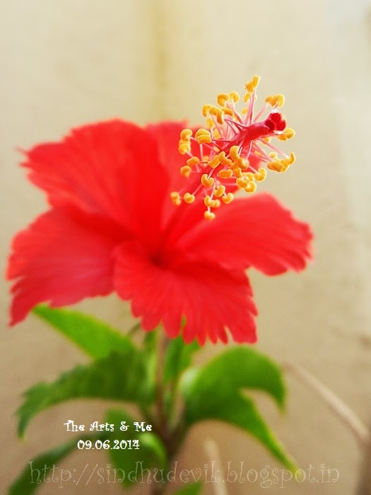 Red hibiscus flower and plant