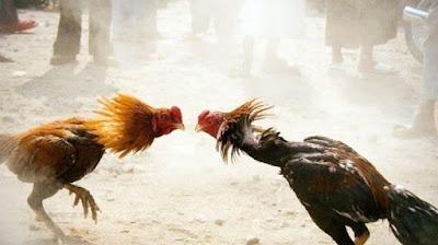 Faktor-faktor Yang Mempengaruhi Sabung Ayam S1288