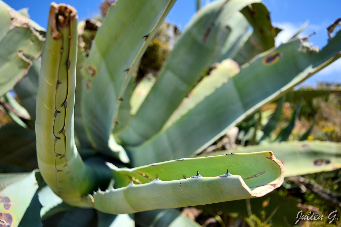 plante grasse portugal