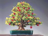 bonsai apple tree for sale, bonsai apple tree price, how to grow a bonsai fruit tree from seed, do bonsai trees grow fruit, bonsai apple tree fruit, bonsai pear tree, bonsai tree fruits edible, how to grow bonsai fruit trees