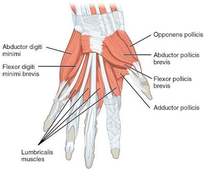 Anatomi otot fleksor digiti minimi brevis merupakan pemetaan origo, insersi, aksi atau fungsi, dan arteri dari otot ini.