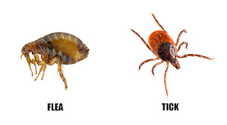 Lice vs Fleas Pictures, Size, Difference