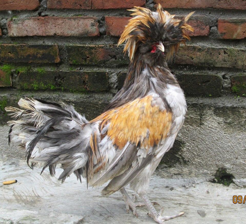 Gambar Ayam Lucu Dan Aneh Aneh Unik Misterius