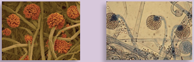 Jenis-jenis dan Klasifikasi Jamur