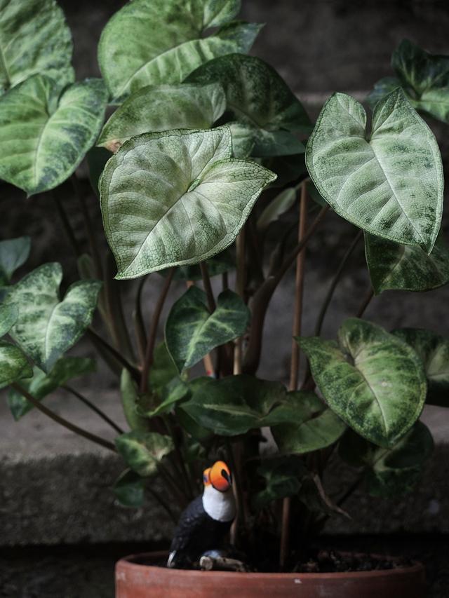 In mijn huiskamerjungle: mijn Syngonium Podophyllum White Butterfly