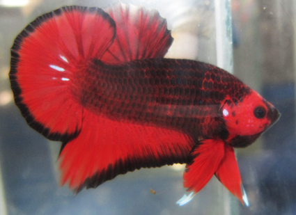 Dark red betta fish - photo#41