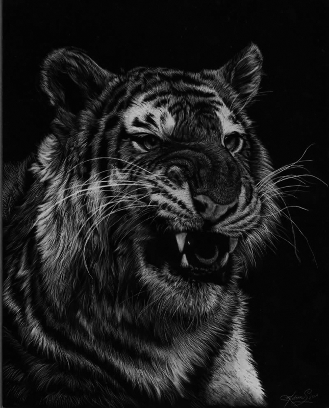 10-Tiger-Allan-Ace-Adams-Scratchboard-Drawings-of-Wild-Animals-www-designstack-co