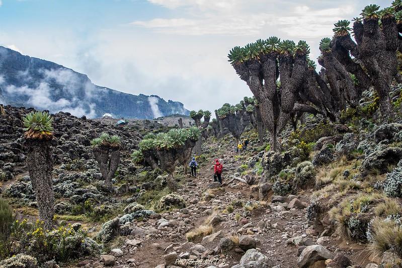 giant groundsels kilimanjaro