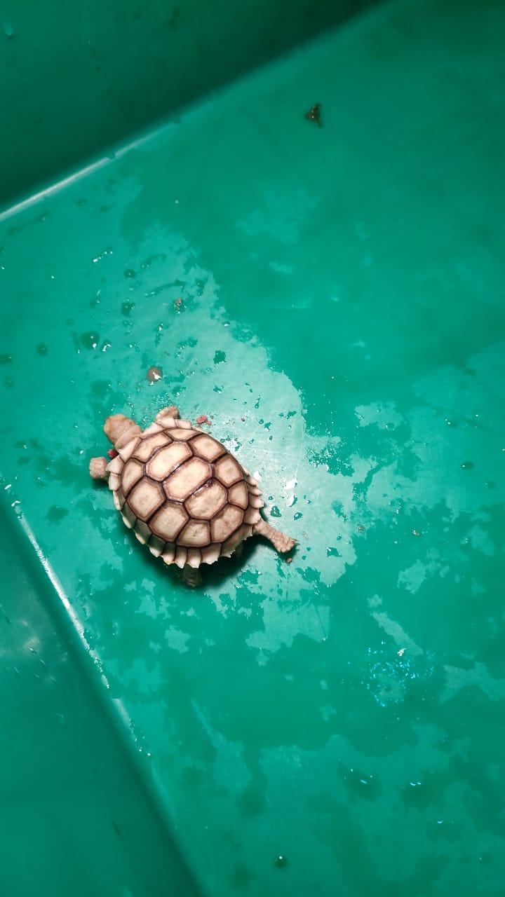 kura-kura-sulcata-jika-sakit