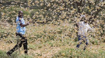 Grasshopper attack in India