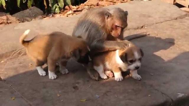 पप्पी को बंदरिया ने दिया मां का प्यार, अनाथ होने पर पिलाया दूध , देखे