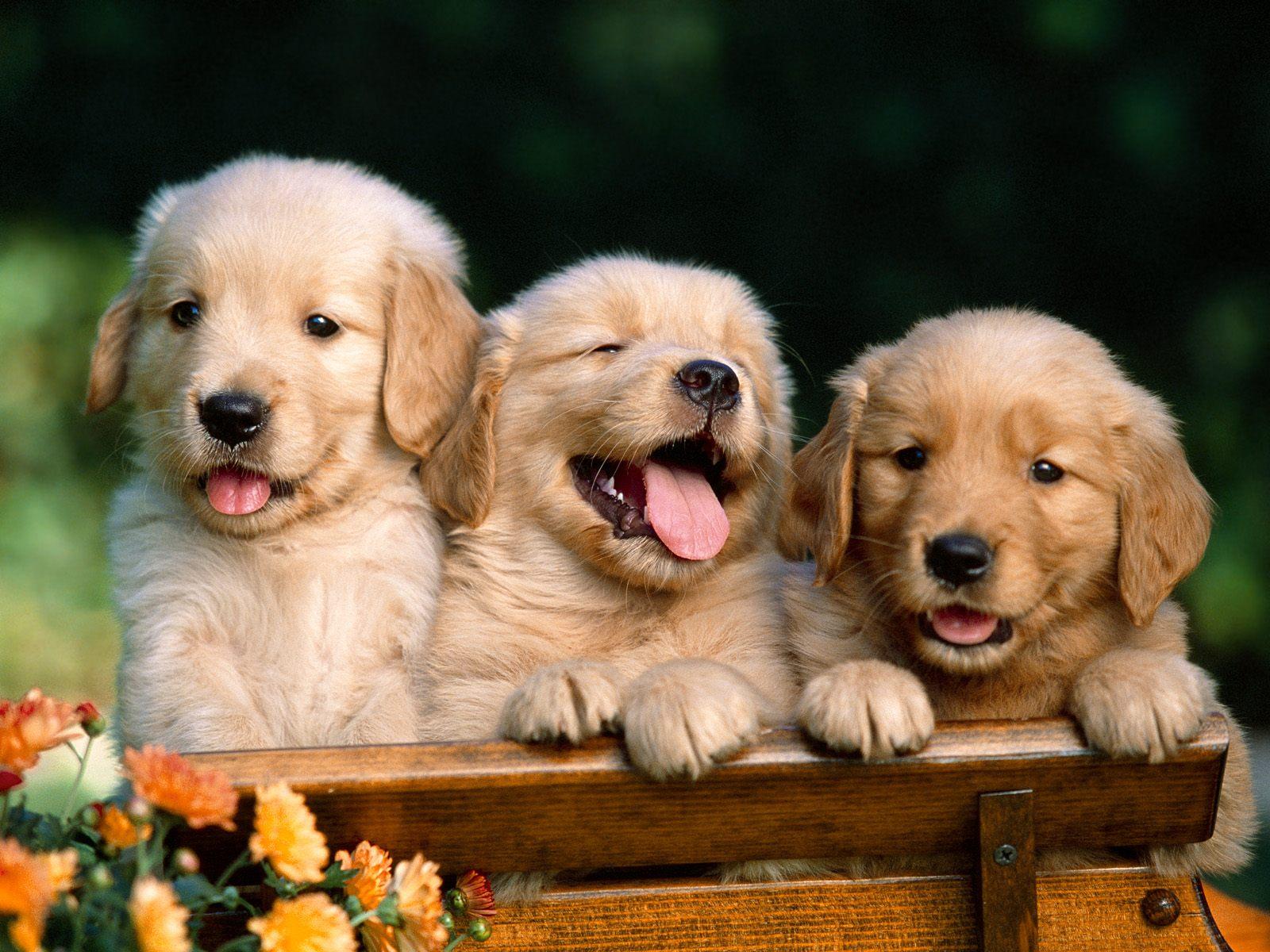 Golden Retrievers | Fun Animals Wiki, Videos, Pictures ...