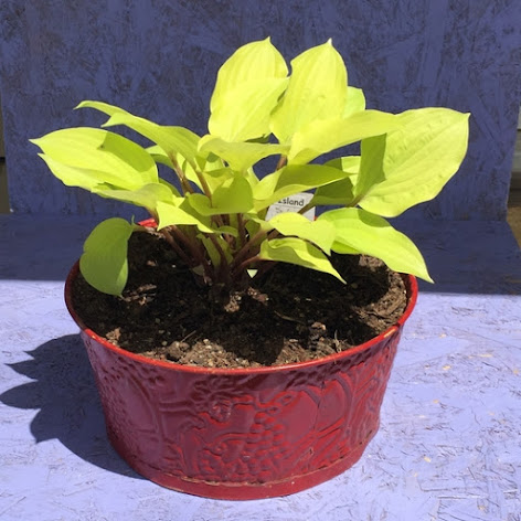 Fire Island Hosta in Red Metal Container