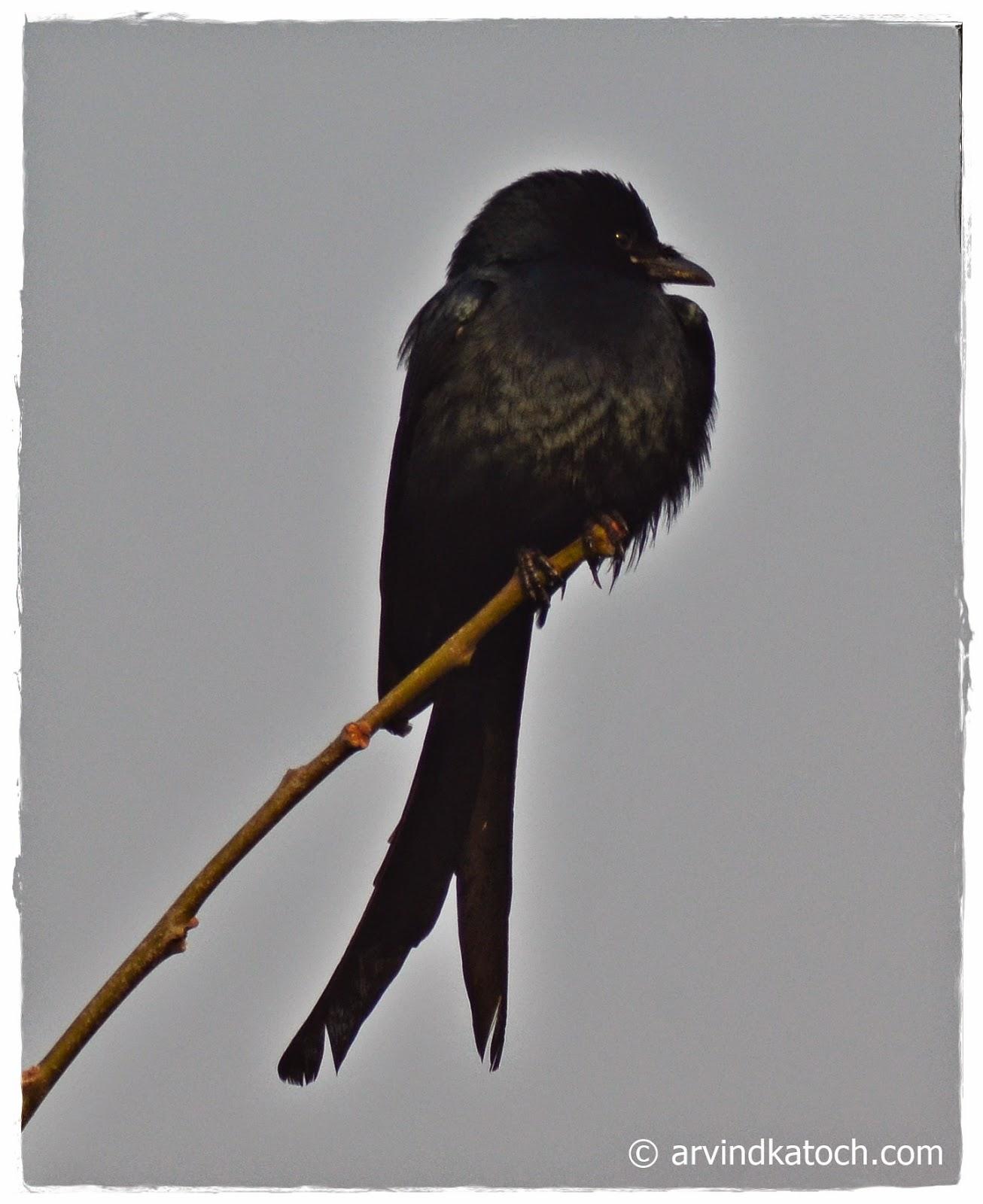 Black Drongo, Dicrunus Macrocercus, Bird, Punjab