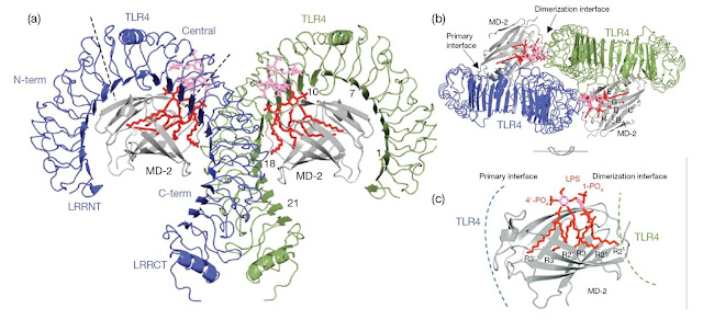 Overall structure of the TLR4–MD‐2–LPS complex