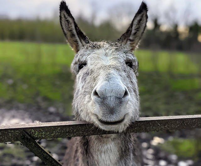 Smiling donkey at Burtown House and Gardens near Kilkea Castle in South Kildare