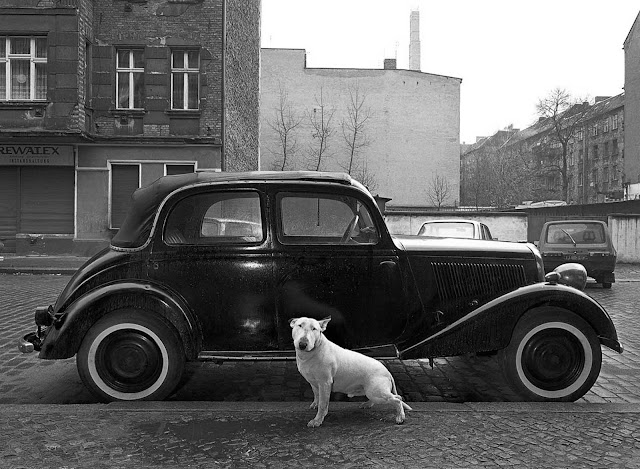 Rocky the bull terrier in front of a 1936 Mercedes.