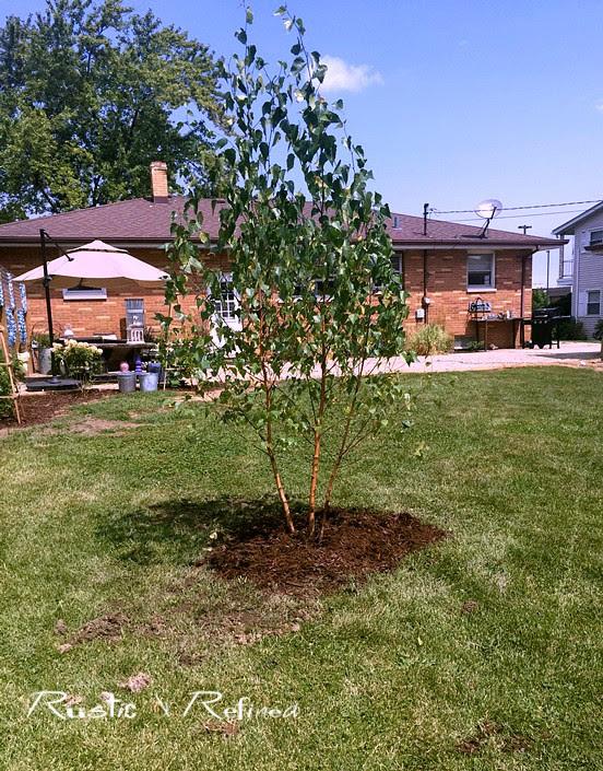 Whitespire Birch Tree