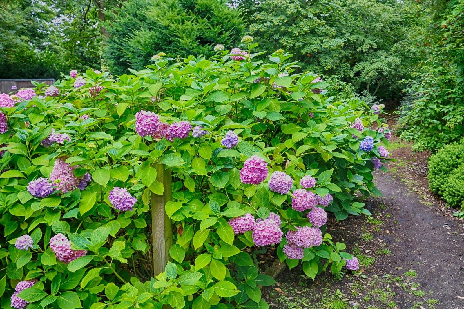 Jibberjabberuk Growing Hydrangeas