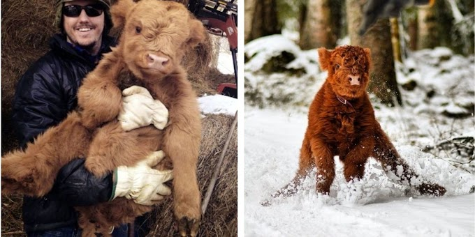When You Feel Down Or Sad, These 20 Fluffy Calf Photos Will Bring a Smile to Your Day