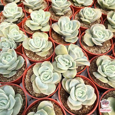 ต้นกุหลาบหิน อิชิเวเรีย Echeveria Lovely Rose