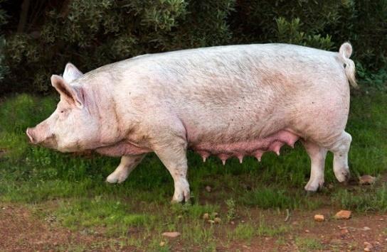 اضرار لحم الخنزير