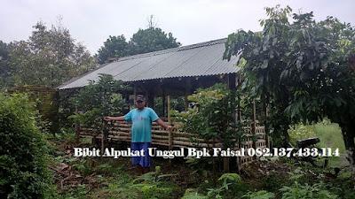 Jual bibit Alpukat Unggul Bpk Faisal - 082.137.433.114