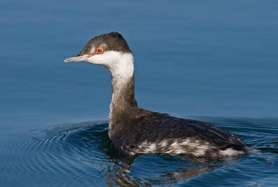 Photo of a Horned Grebe on a lake