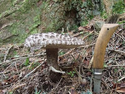 grzyby w lipcu, grzyby 2016, grzyby chronione, grzyby z czerwonej listy, grzyby na Orawie, Strobilomyces strobilaceus szyszkowiec łuskowaty