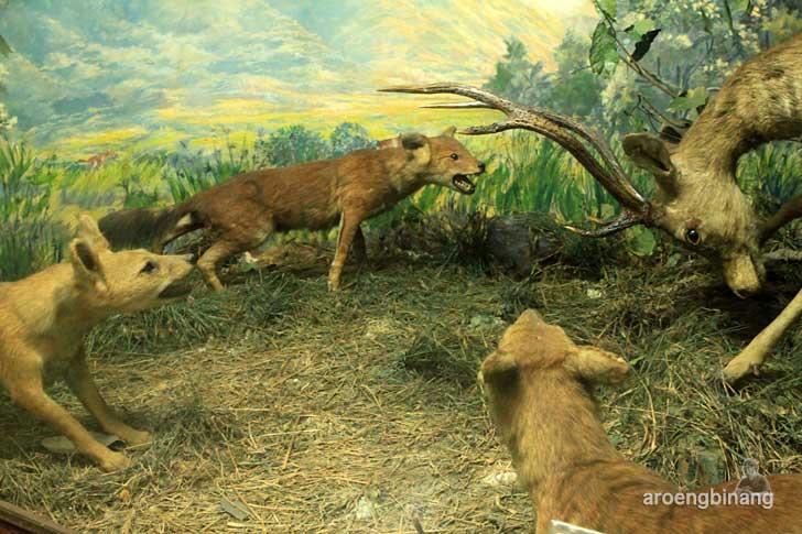 ajag museum zoologi bogor