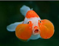 Jenis Ikan Koki akuarium air tawar